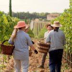 vino cortona doc cantina campo vigna uva
