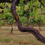 vitigno elmo nuovo valpolicella valpantena