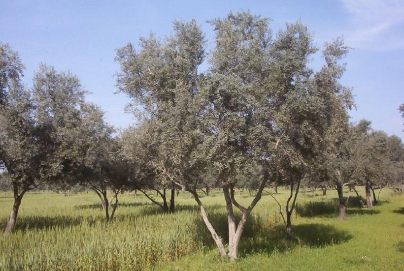 consociazione olivo grano agricoltura cereali pratiche agronomiche
