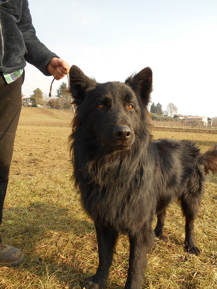 pastore cane