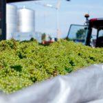 vendemmia 2017 anticipata uva vino veneto raccolta