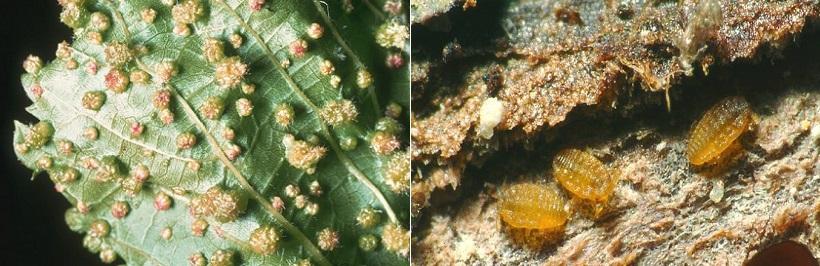 fillossera vite galle afidi insetto malattia danni foglie vitis