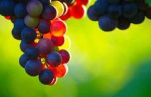 invaiatura uva mosto vino maturazione chimica rifrattometro