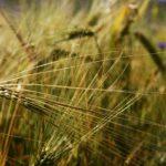 grano biodiversità agricoltura