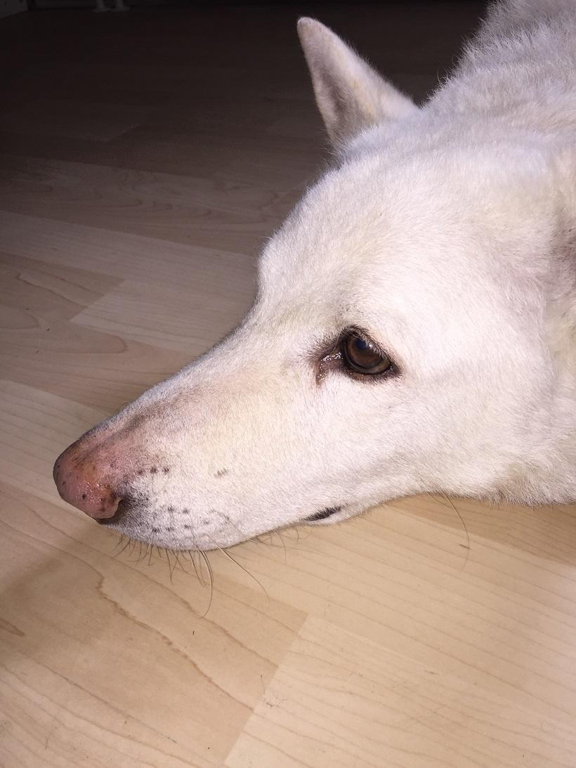 cane lupo saarloos testa bianco