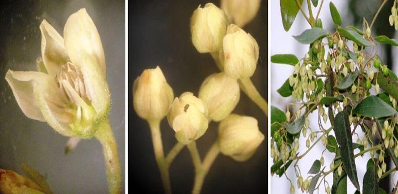 maqui pianta frutto fiore coltivazione