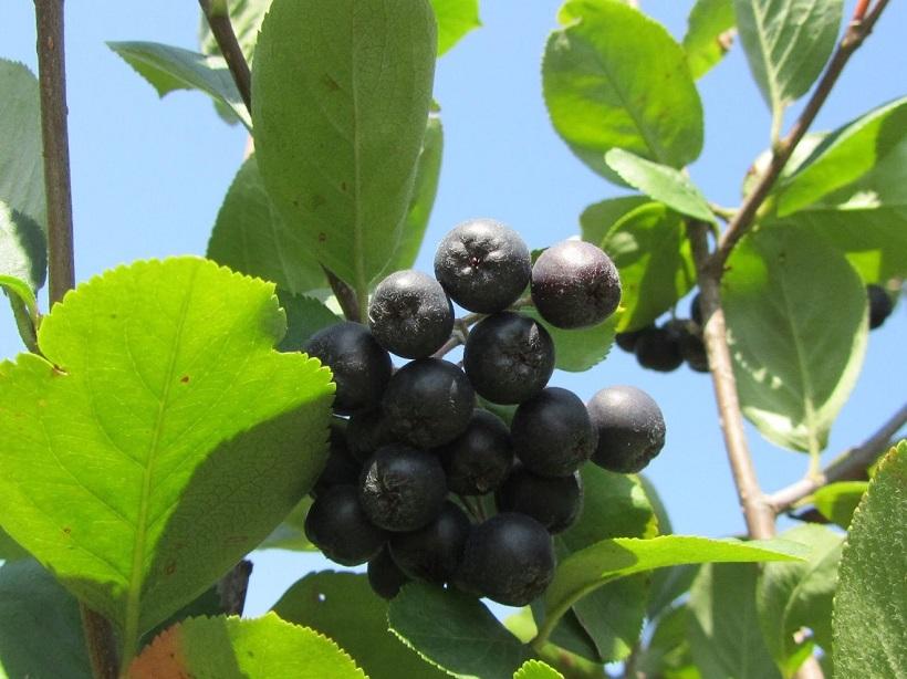 aronia frutto