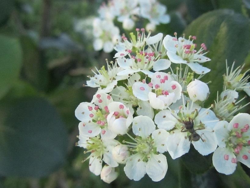 aronia melanocarpa fiore