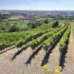 vino colli berici vigneto vigna uva paesaggio