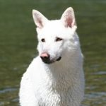 cane lupo saarloos bianco colore