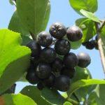 superfrutti coltivazione