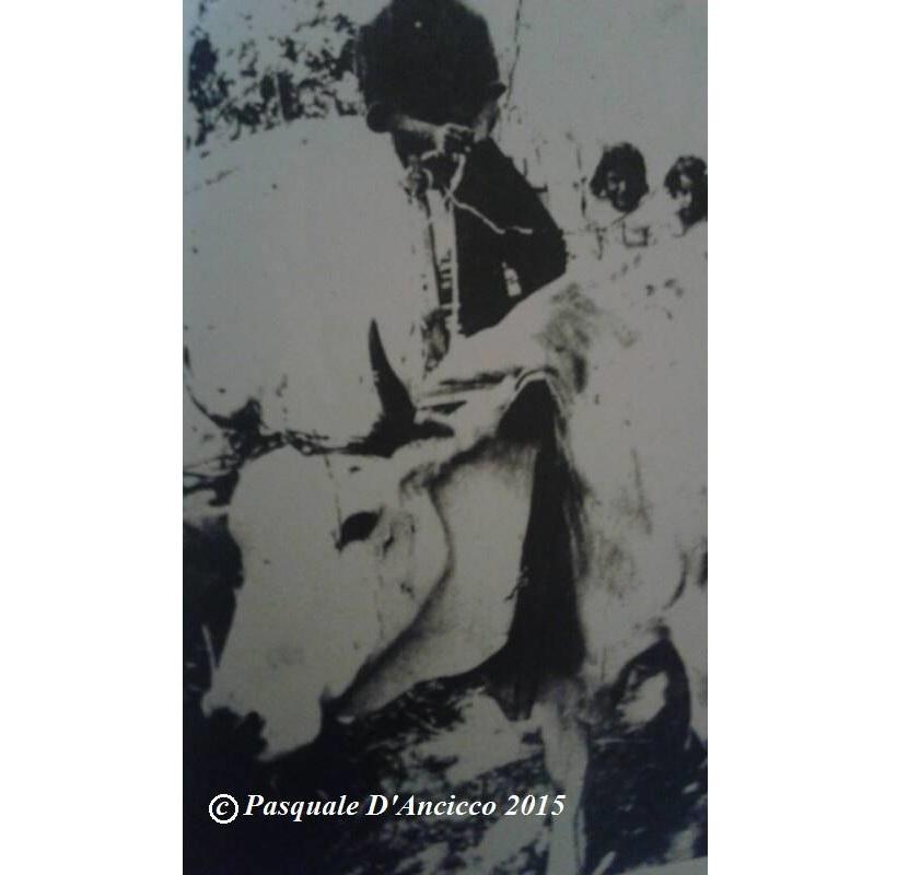 vacca alifana foto