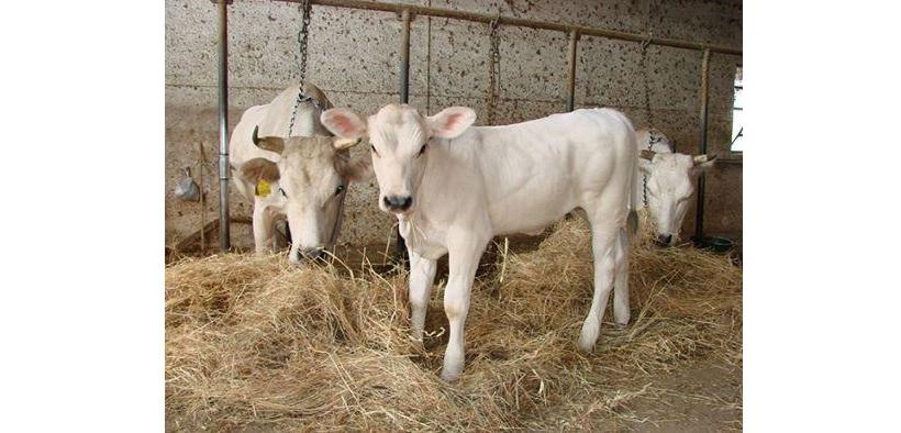 vacca alifana vitellino