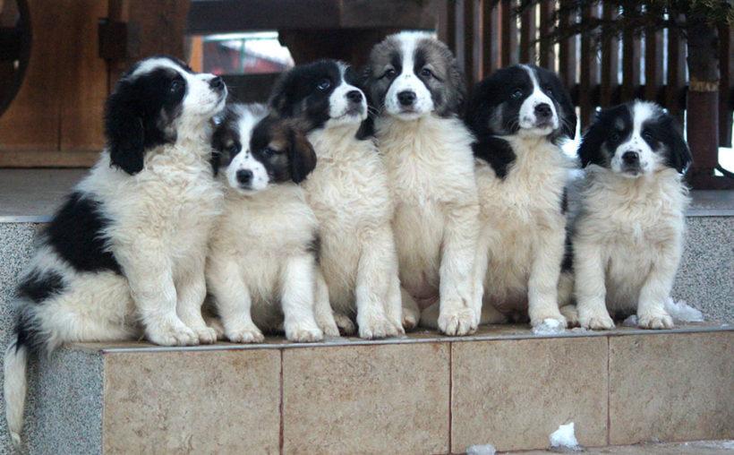 Cuccioli di Tornjak
