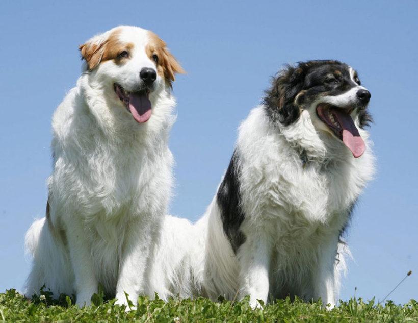 Due esemplari di Tornjak (fonte mascotarios.org)