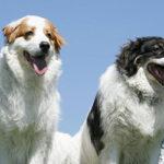 Il Tornjak, il cane dei Balcani