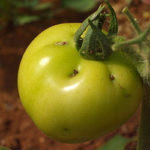 La Tignola del Pomodoro