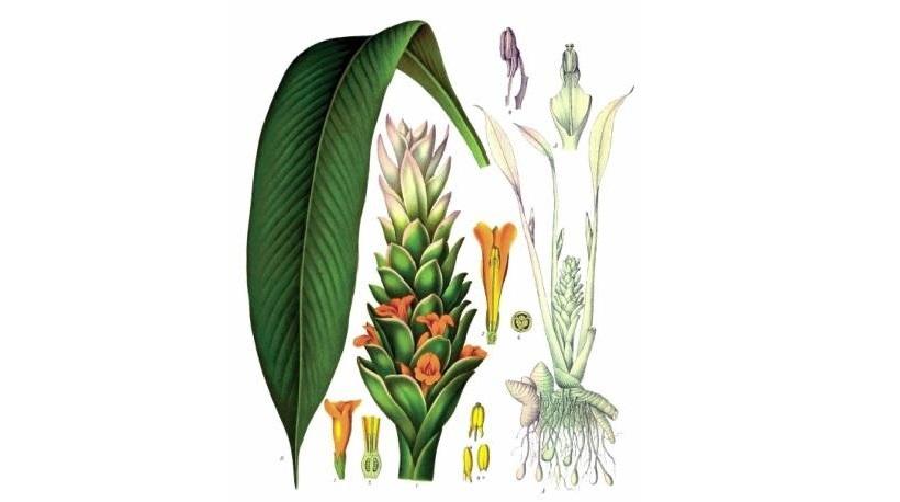 curcuma fiore pianta