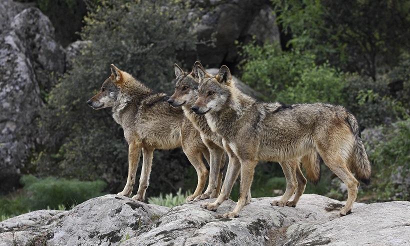 lupo lupi appennino montagna bosco