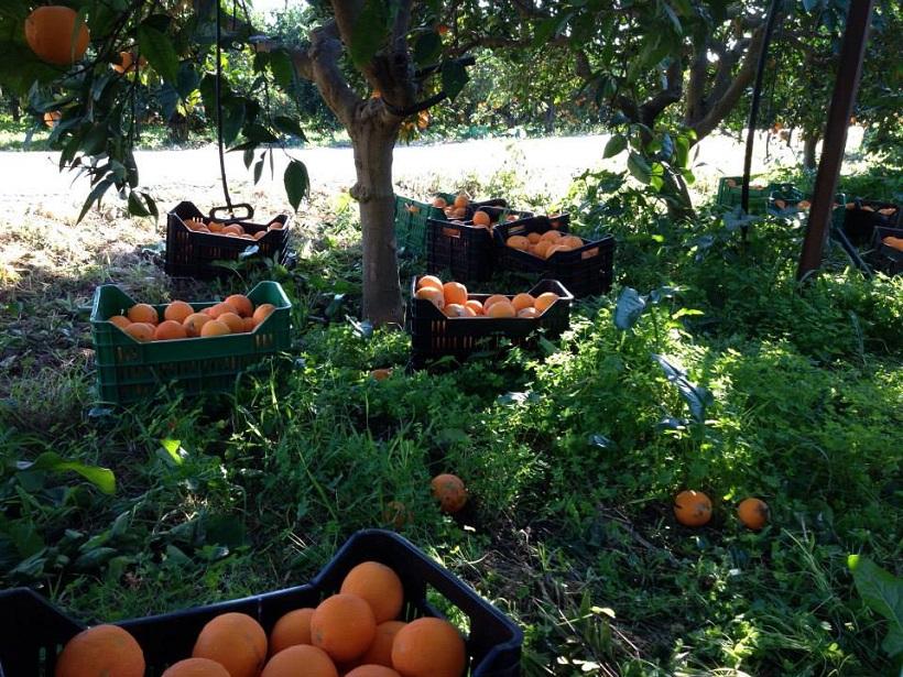 agrumeto arance mandarini raccolta sicilia agrumi