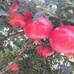 superfrutti melograno gelso coltivazione italia