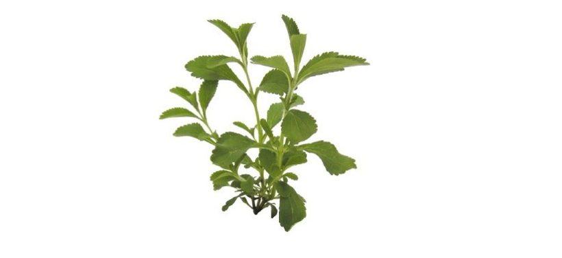 stevia pianta dolcificante foglie