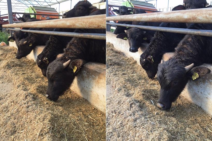 bufale maddalo