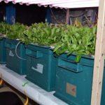 Biofortificazione con selenio e interazioni con il metabolismo dello zolfo in piante di Valerianella