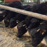 bufale lattazione alimentazione produzione latte foraggio