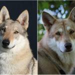 cane lupo saarloos confronto cecoslovacco
