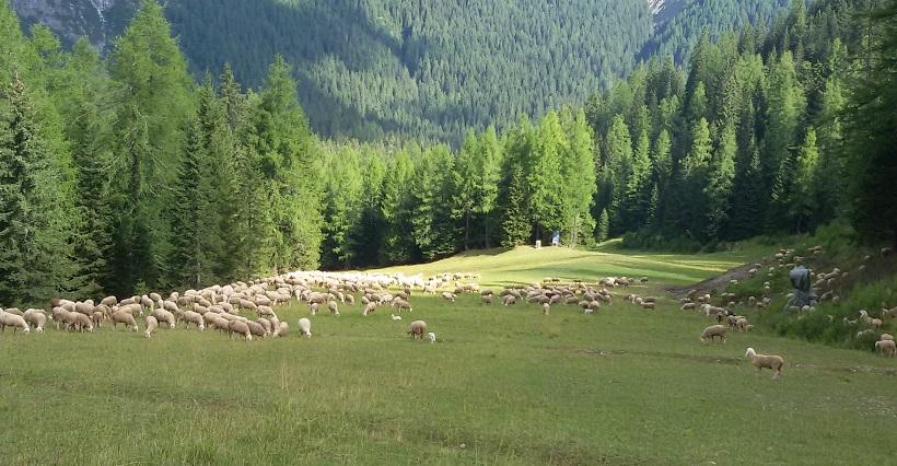 gregge pecore pascolo bosco
