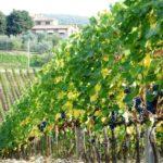 vino rocca delle macia vigneto vite uva