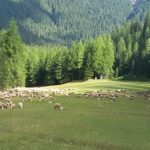 zootecnia forestale allevamento pecore