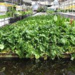 Acquaponica: il valore di un ecosistema