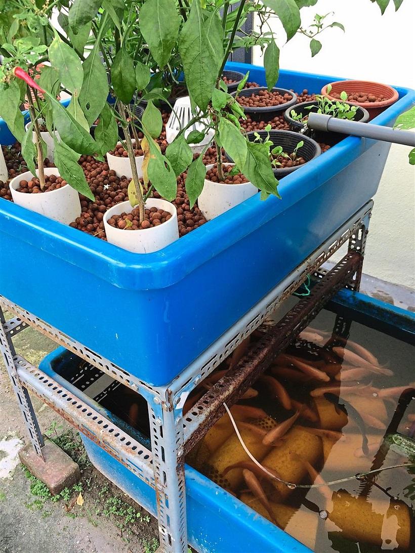 acquaponica coltivazione acqua