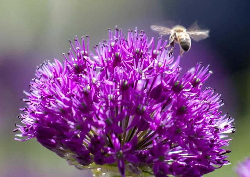 allium fiore aglio selvatico insetto