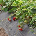 La coltivazione della fragola in coltura protetta in zona vocata: la Campania (Casertano)
