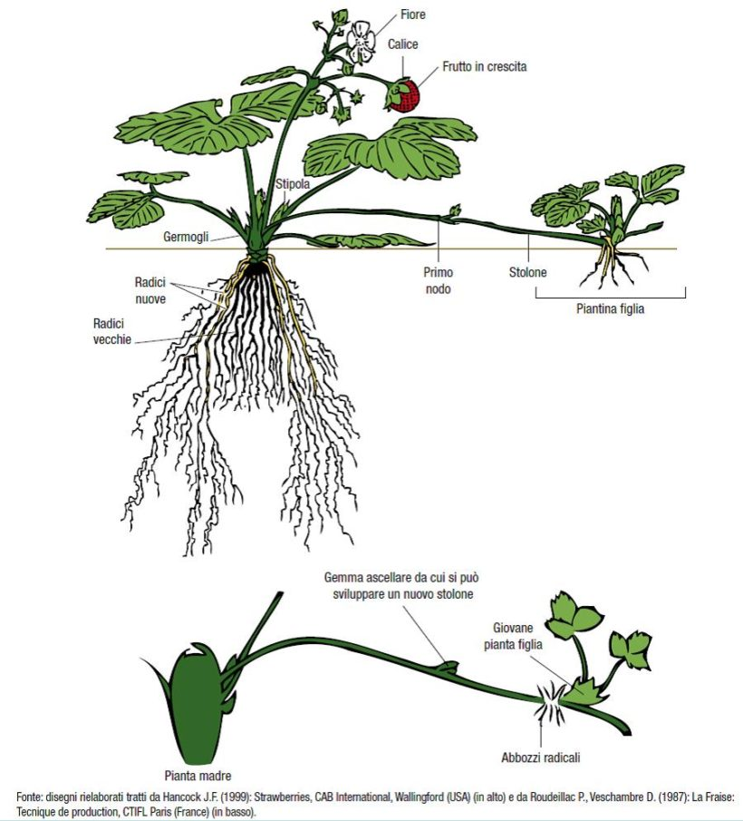 fragola schema pianta