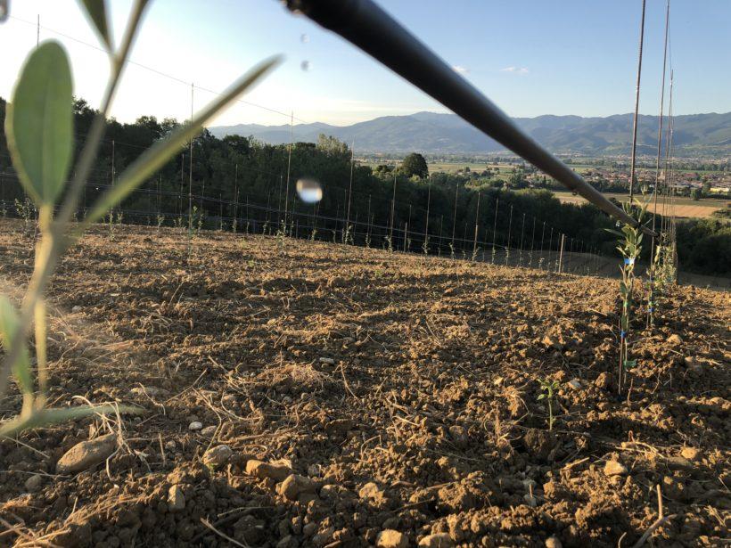 oliveto intensivo
