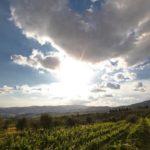 vite uva chardonnay filare