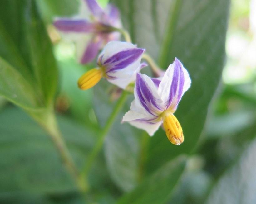 pepino solanacea pianta
