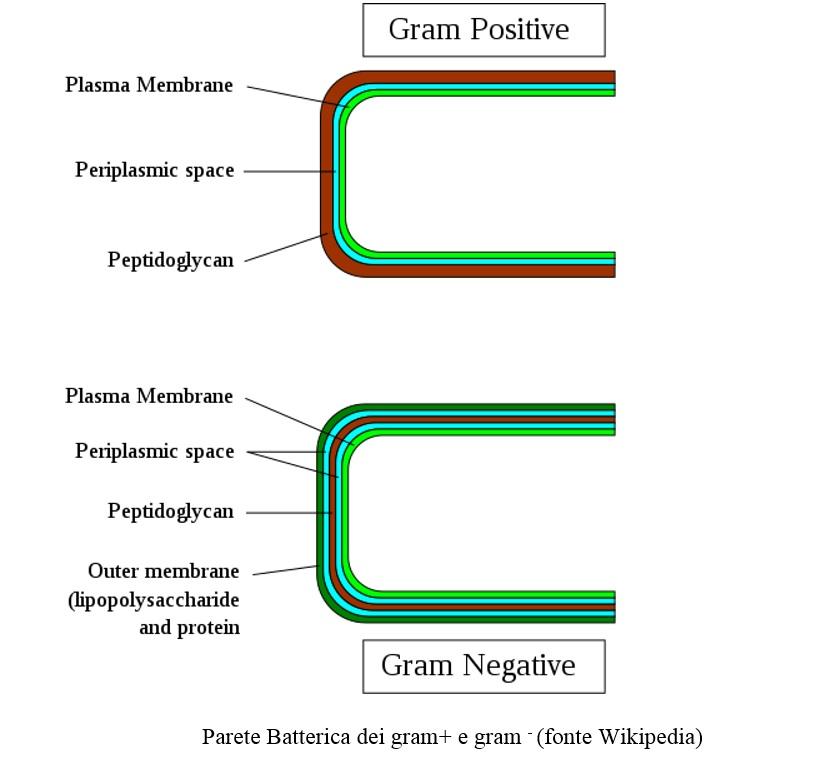 memebrana cellulare parete