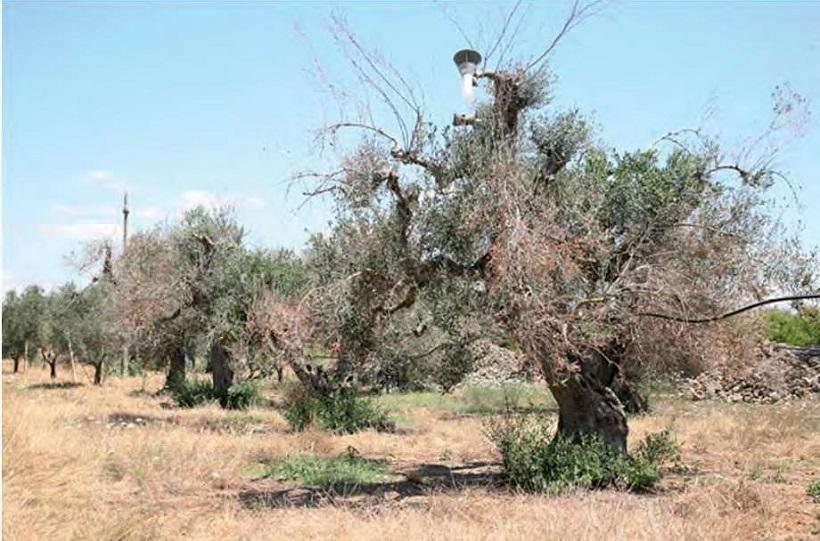 disseccamento olivo xylella