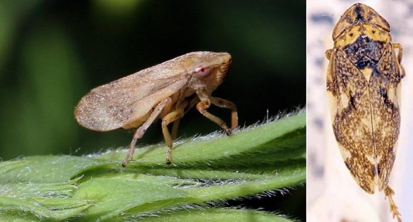 sputacchina insetto vettore xylella