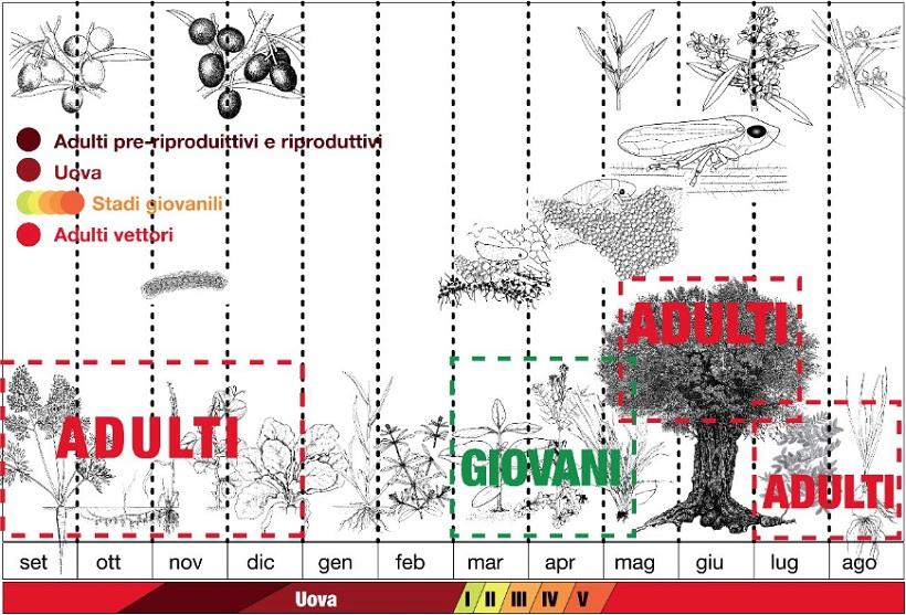 ciclo biologico xylella