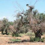 xylella disseccamento olivo