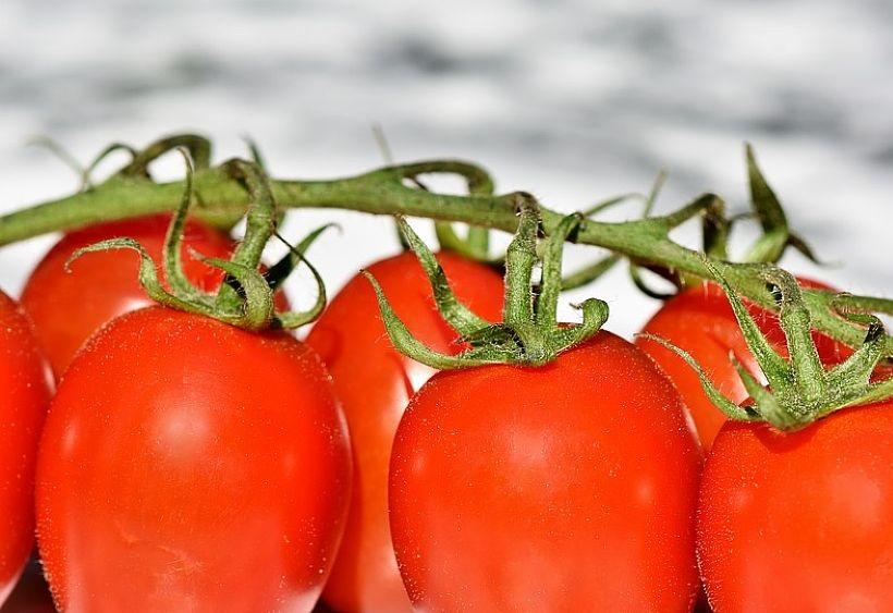 Crollo della raccolta dei pomodori
