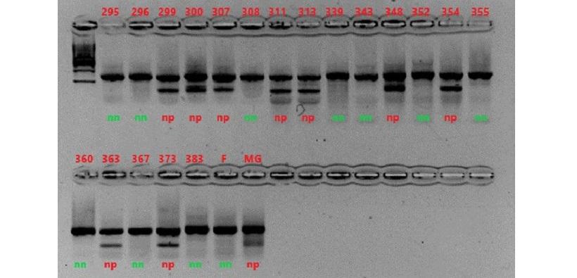 analisi marcatore genotipi popolazione melo