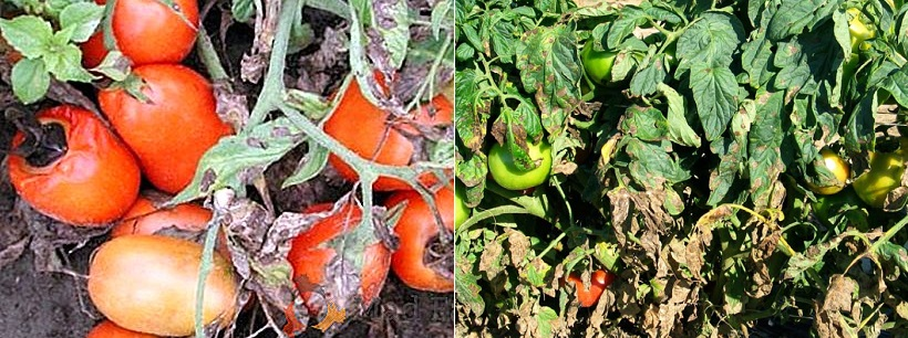 Alternariosi del pomodoro