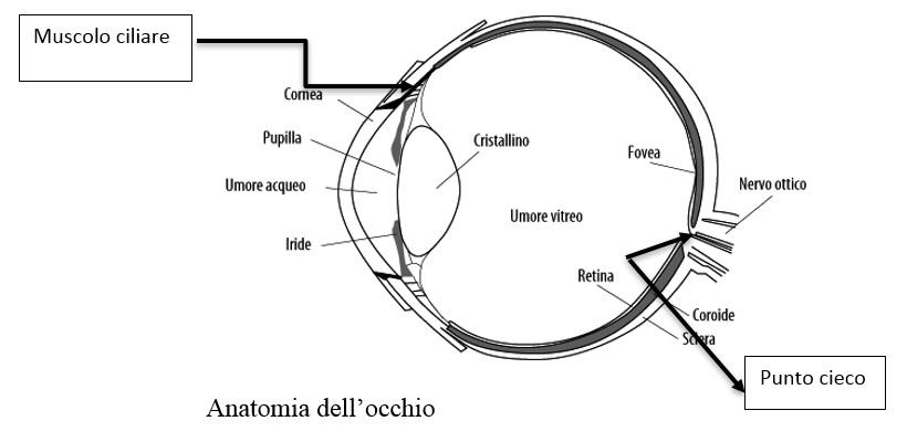 anatomia occhio